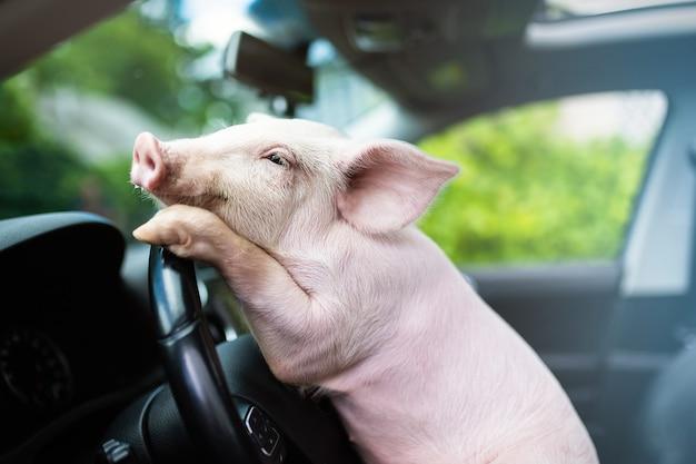 Drôle de cochon accroché ses pattes au volant d'une voiture. cochon de conduite.
