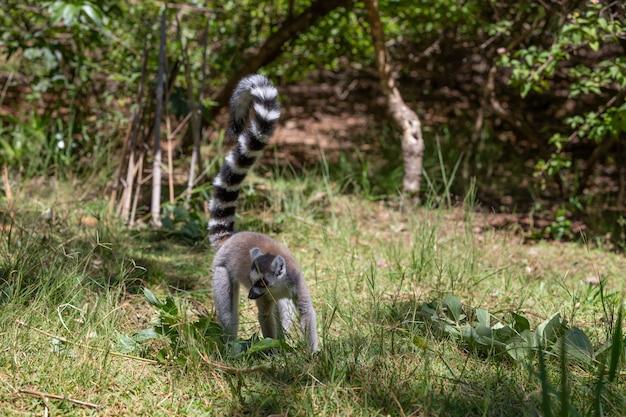 Un drôle de lémur catta dans son environnement naturel.