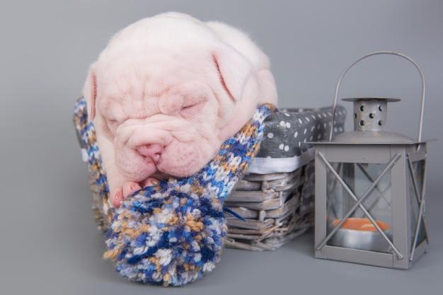 Drôle petit chien chiot bouledogue américain dort dans un panier en bois avec lanterne sur fond gris