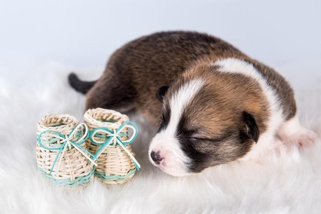 Drôle de petit chien chiot pembroke welsh corgi avec des chaussures de bébé isolé sur un paysage blanc pour noël ou autre carte de vacances