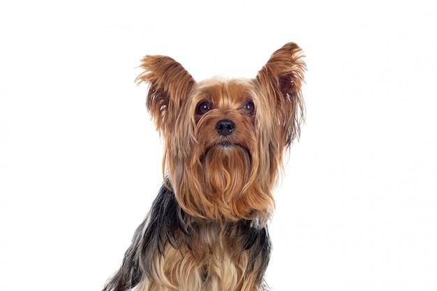 Drôle petit chien yorkshire