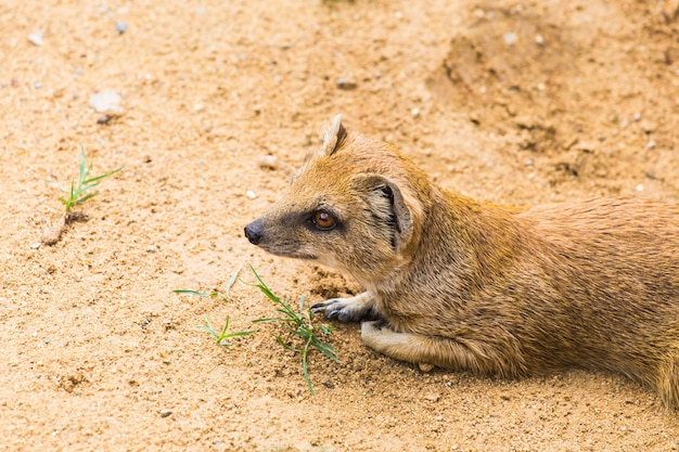 Drôle de petite mangouste jaune se dresse sur le concept de sol argileux sableux d'animaux au zoo