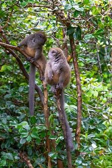 Drôles de lémuriens de bambou sur une branche d'arbre regarder les visiteurs