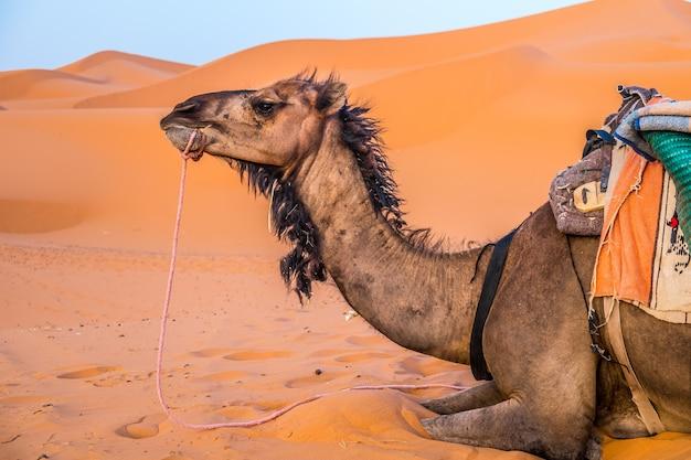 Dromadaire dans le désert du maroc