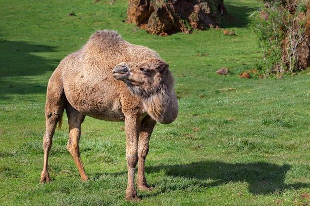 Le dromadaire, également appelé chameau arabe.