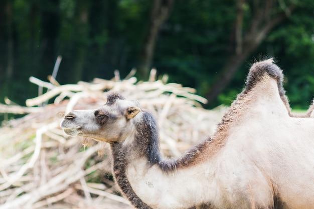 Dromadaire avec ses deux bosses dans la vie sauvage