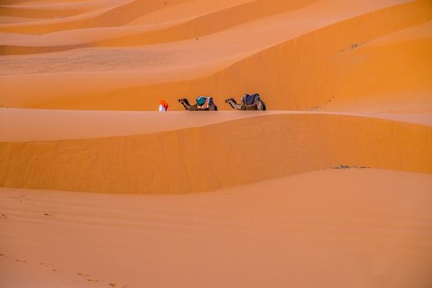 Dromadaires dans le désert du maroc