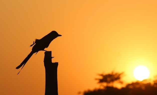Drongo noir acrobatique au coucher du soleil