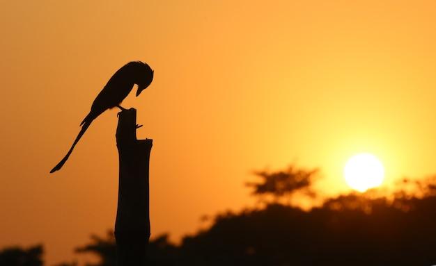 Drongo noir assis sur un poteau au coucher du soleil