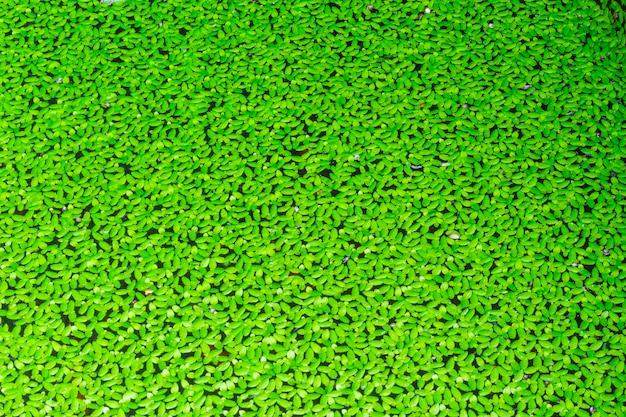 Duckweed couvert à la surface de l'eau