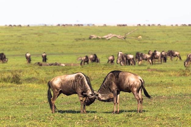 Duel de deux hommes savanna de maasai mara kenya afrique