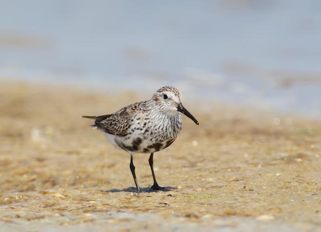 Un dunlin en plumage d'hiver se dresse sur le sable et me pose.