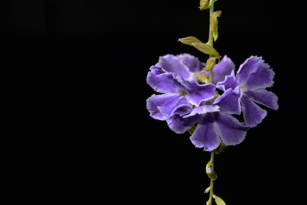 Duranta repens fleur ou petite fleur mauve et fond noir