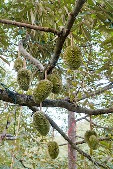 Durian dans le jardin du pays thaïlande