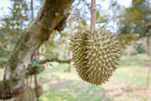 Durian est en phase de rendement. dans le verger, province de chanthaburi, thaïlande