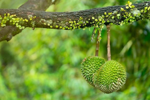 Durian est prêt à récolter les produits sur l'arbre en attendant que les marchands l'achètent et l'exportent en chine.