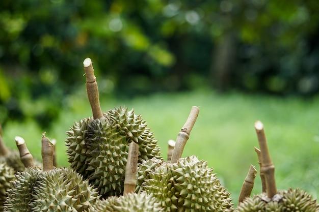 Durian fosses que les jardiniers coupent de l'arbre avant d'être triés puis vendus.