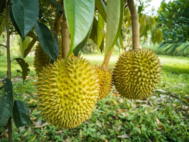 Les durians accrochés au grand arbre du jardin