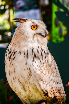 Eagle owl (eurasian eagle-owl) gros plan