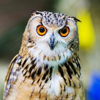 Eagle owl / un hibou royal