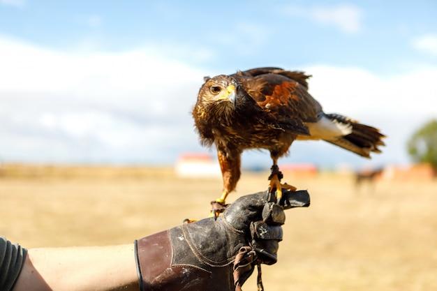 Eagle perché sur la main de l'homme.
