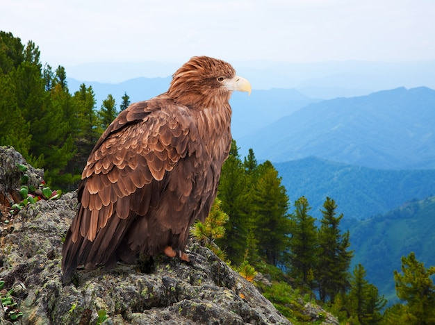 Eagle sur le rock