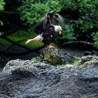 Eagle se perchant sur le roc, district régional de skeena-queen charlotte, haida gwaii, île graham, britis