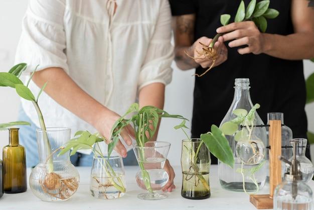 L'eau de couple propageant leurs plantes d'intérieur