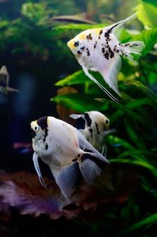 Eau douce lumineuse avec des poissons pterophyllum en aquarium
