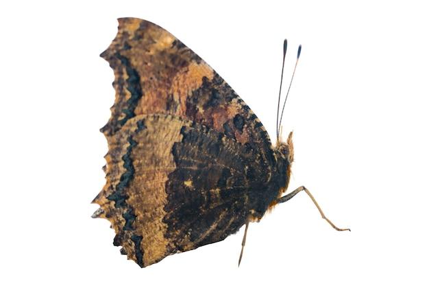 Écaille à pattes jaune papillon ou grande écaille (nymphalis xanthomelas) isolé sur fond blanc