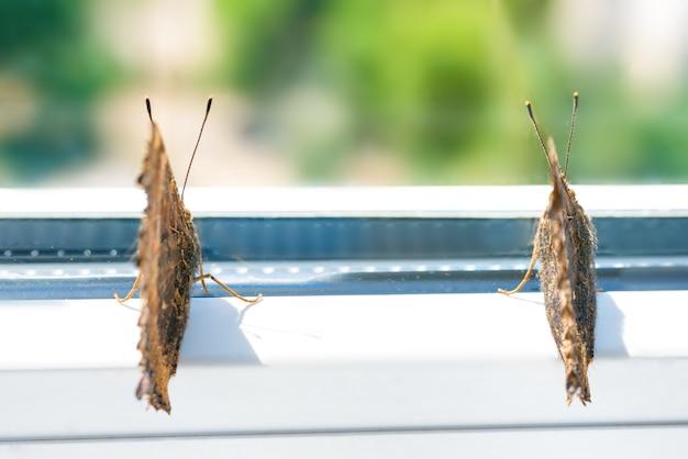 Écaille à pattes jaune papillon ou grande écaille (nymphalis xanthomelas) se trouve sur la fenêtre