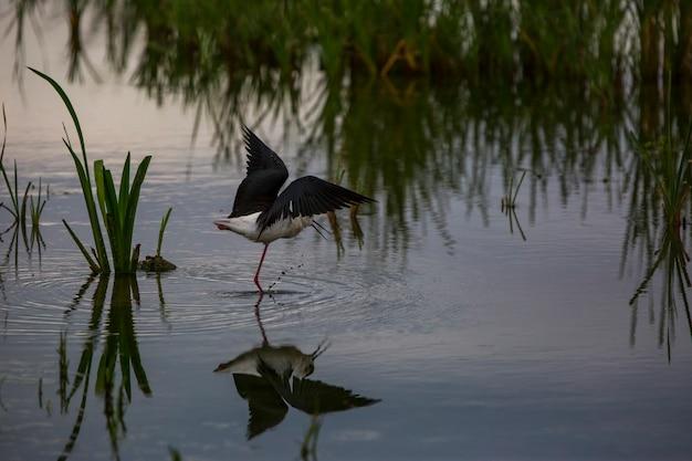 Échasses ailées noires (himantopus himantopus) dans la réserve naturelle des aiguamolls de l'emporda, espagne