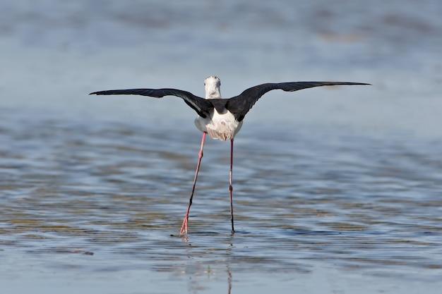 Des échasses ailées noires se tiennent dans l'eau avec les ailes ouvertes. vue arrière