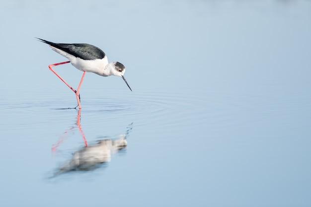 Échasses noires et blanches marchant sur l'eau pendant la journée