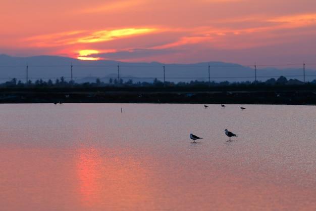 Échassiers à ailes noires sur le champ de sel au coucher du soleil