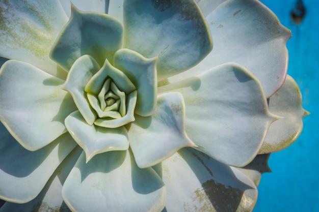 Echeveria plante succulente