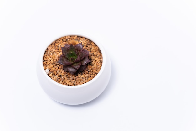 Echeveria purpusorum ou superblum mini succulent en pot blanc sur fond blanc.