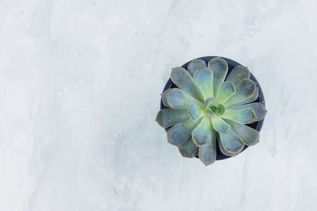 Echeveria succulente. belle succulente verte isolée sur fond de béton gris pierre