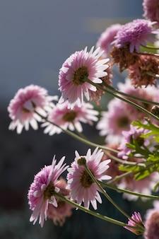 Echinacea rose double délice fleurs
