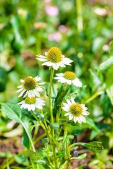 Échinacée blanche (echinacea purpurea), une plante populaire pour attirer les abeilles