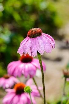 Échinacée pourpre (echinacea purpurea) est une plante populaire pour attirer les abeilles