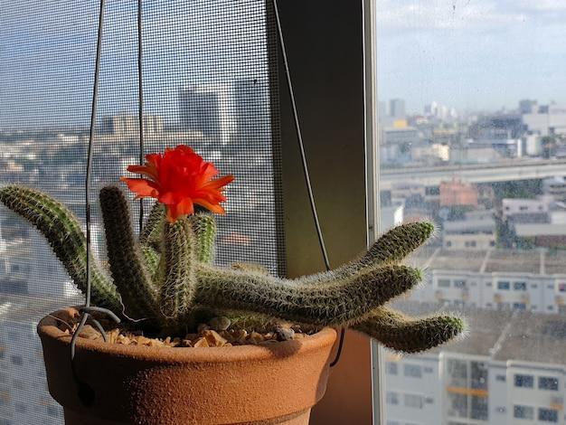 Echinopsis chamaecereus cactus dans le pot