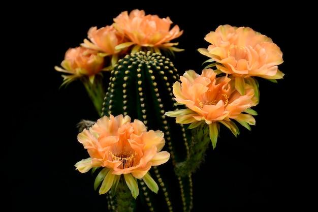 Echinopsis hybride orange paramount.