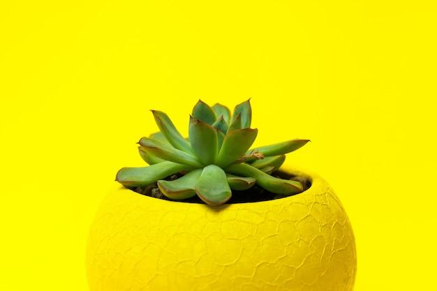Echiveria dans un pot jaune sur fond jaune