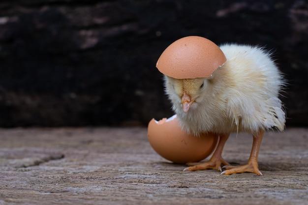 Éclosion de poulet d'un œuf et coquille d'oeuf à l'ancienne surface en bois