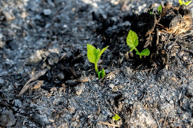 Écologie et environnement de la croissance des arbres dans la zone forestière brûlée par un feu de forêt