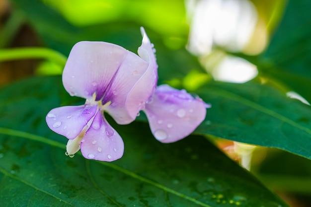 Économie de suffisance de fleur de haricot long biologique.