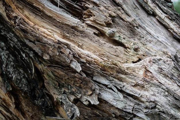 Écorce d'arbre comme fond en bois. texture d'amande tropicale ou d'amande d'inde dans la famille des combretacées.