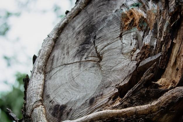 Écorce d'arbre en gros plan comme arrière-plan flou en bois texturé d'amande tropicale ou d'amande indienne