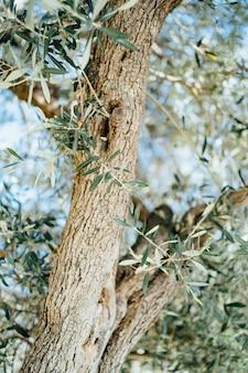 Écorce de feuilles et tronc d'olivier contre le ciel bleu